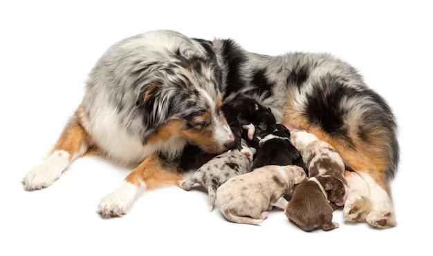 Moeder australische herder met zijn puppies die tegen witte achtergrond zogen