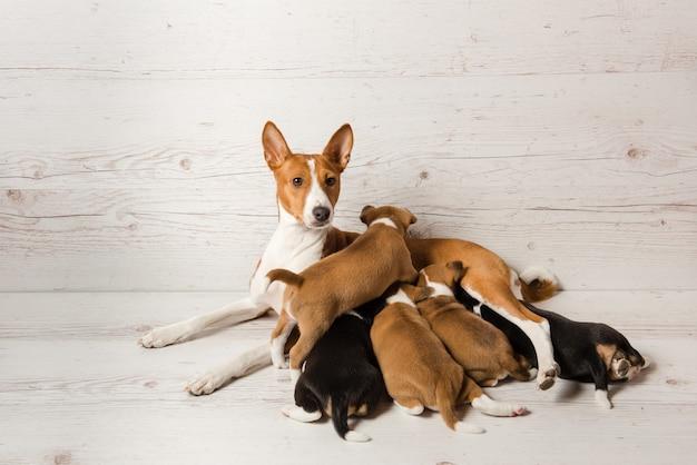 Moeder basenji voert haar puppy's
