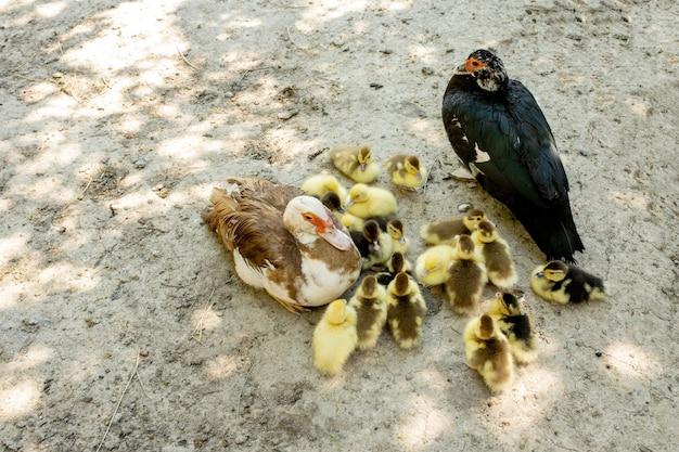 Moeder eend met haar eendjes. eendjes die de moeder volgen