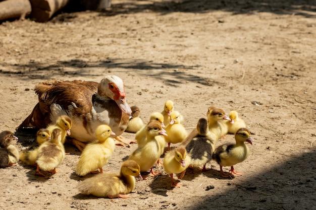 Moeder eend met haar kuikens. er zijn veel eendjes die de moeder volgen.