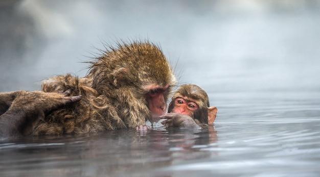 Moeder en baby japanse makaak zitten in water in een hete lente. japan. nagano. jigokudani monkey park.
