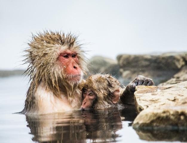 Moeder en baby japanse makaak zitten in water in een hete lente