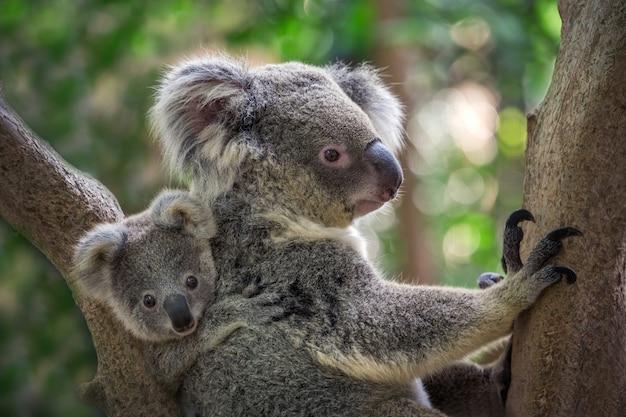 Moeder en baby koala op een boom in een natuurlijke sfeer.