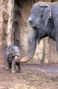 Moeder en baby olifant koppelen trunks
