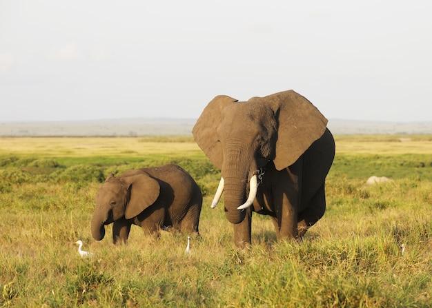 Moeder en babyolifant lopen op de savanne van amboseli national park, kenia, afrika