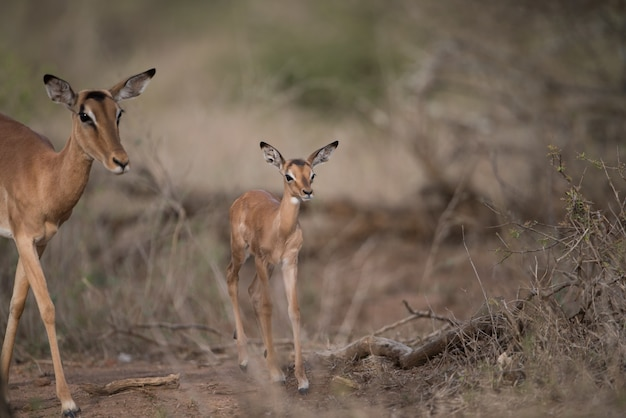 Moeder en een babyantilope die samen lopen