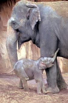 Moeder en pasgeboren babyolifant omarmen