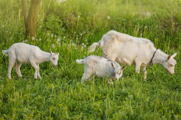 Moeder geit en haar baby's in het dorp. familie van geiten. geiten worden begraasd op een groene weide. geit met een geitenkind