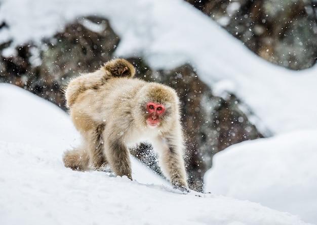 Moeder japanse makaak met een baby op haar rug gaat naar de hete lente in de diepe sneeuw