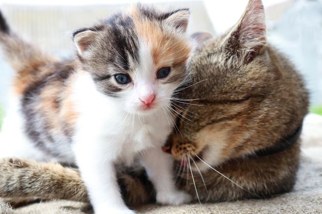 Moeder kat en driekleurige kitten spelen samen