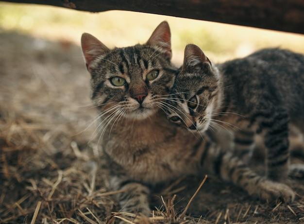 Moeder kat kitten kussen. kat knuffelt kitten en drukt zijn gezicht tegen het kitten. kat die het babykatje stevig vasthoudt. de kat is grijs, donzig. het kitten is klein, wit en rood. familie van katten.