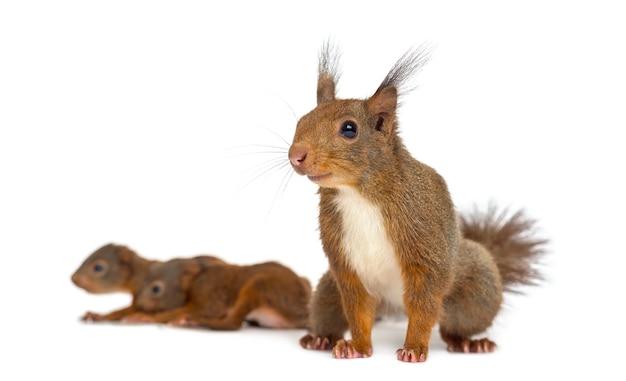 Moeder rode eekhoorn en baby's voor een wit oppervlak