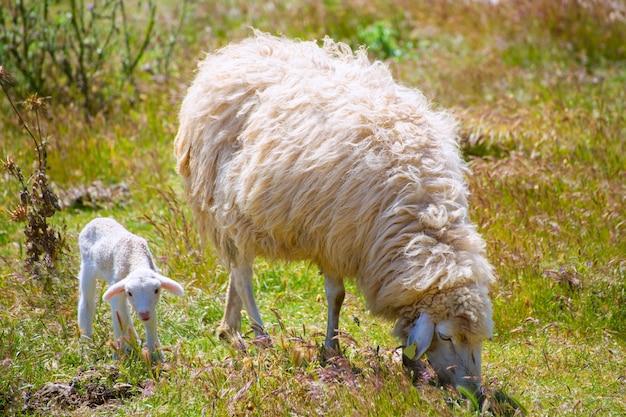 Moeder schapen en baby lam weiden in een veld