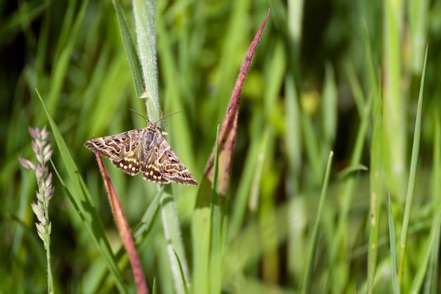 Moeder shipton-mot (callistege mi) warmt zich op op een grasstengel in de ochtendzon