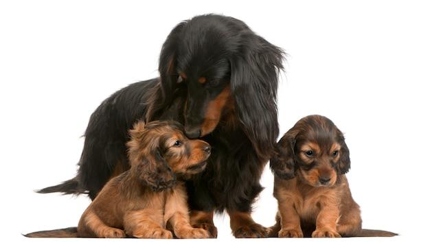 Moeder teckel (4 jaar oud) en haar puppy (5 weken oud)