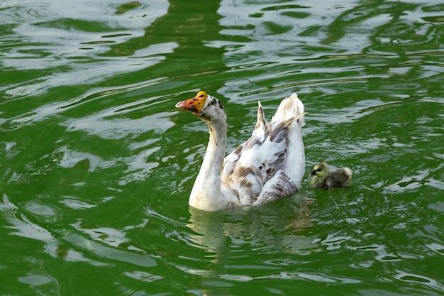 Moedergans en gansje zwemmen in het vijverwater.