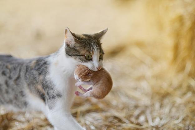 Moederkat draagt haar babykatje in haar mond