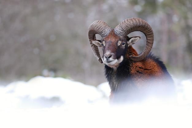 Moeflon, ovis orientalis, ram die op weide in de winteraard kijkt. bruin zoogdier met gebogen hoorns kijken in een besneeuwde omgeving. wilde schapen die op wit veld staren.