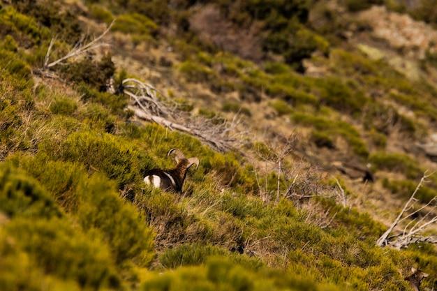 Moeflons in capcir, pyreneeën, frankrijk