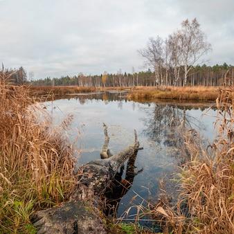 Moeras in het noorden in de herfst. een boom die door bevers in het water is geveld.