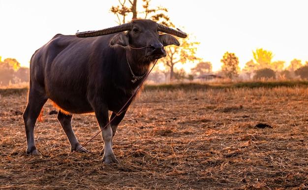 Moerasbuffels bij een geoogst rijstveld. buffels staan 's ochtends op de rijstboerderij met zonlicht.