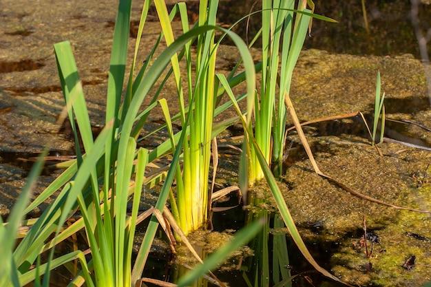 Moerasgras groeit in water met bladeren, modder en eendenkroos. een libel zit op de groene stengels van gras.