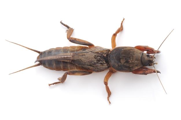 Mol cricket geïsoleerd op een witte achtergrond
