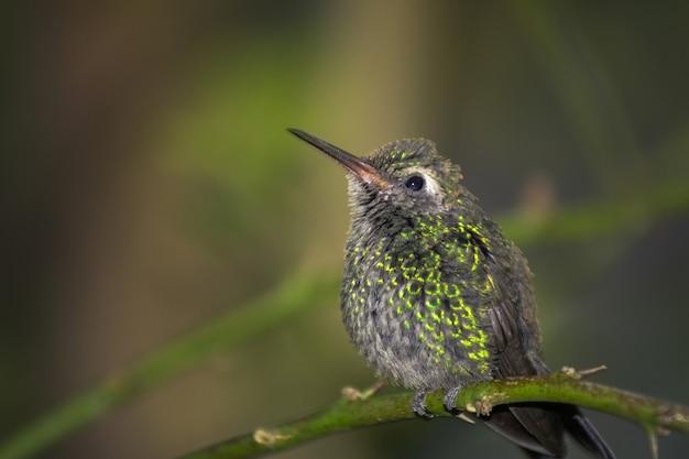 Mollige groene kolibrie op een groene tak in bos