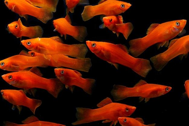 Molly fish (poecilia latipinna) aquariumvissen