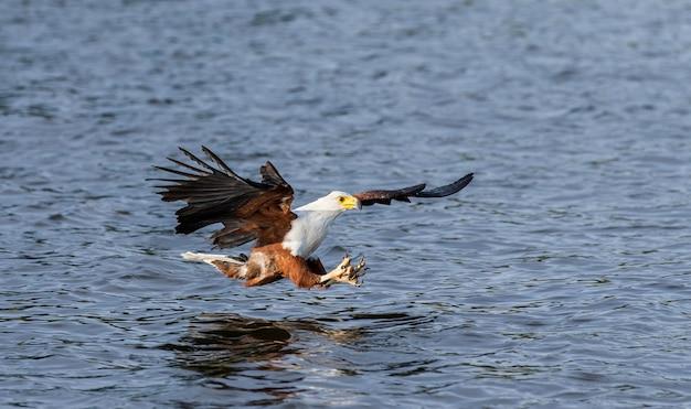 Moment van de aanval van de afrikaanse zeearend op de vissen in het water. oost afrika. oeganda.