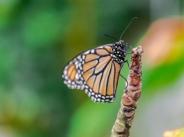 Monarchvlinder (danaus-plexippus) die op een stam rusten