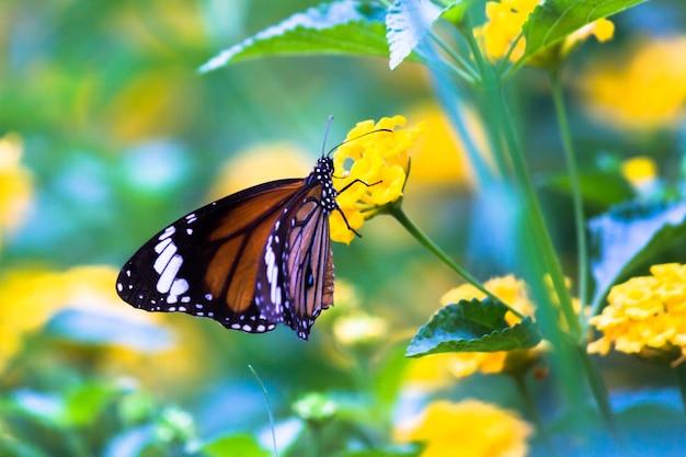 Monarchvlinder danaus plexippus op felgele zonnebloemen op een zonnige zomerochtend