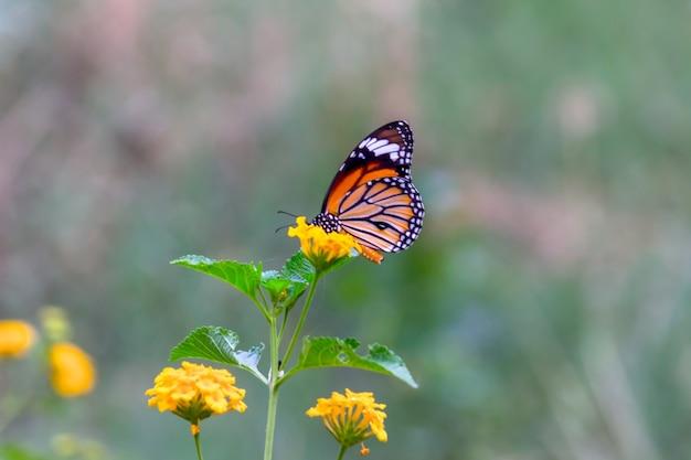 Monarchvlinder een monarchvlinder die zich voedt met bloemen in een zomertuin
