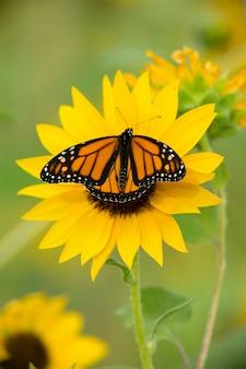 Monarchvlinder en gele zonnebloem