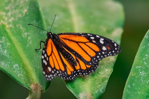 Monarchvlinder op blad
