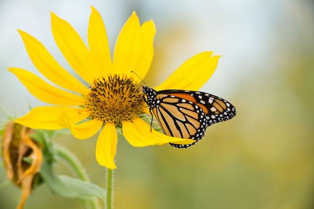 Monarchvlinder op wilde zonnebloem