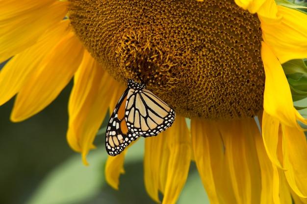 Monarchvlinder op zonnebloem