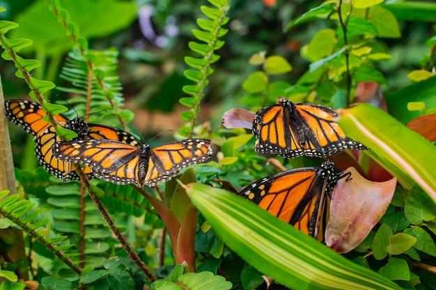 Monarchvlinders met open vleugels, op groene bladeren