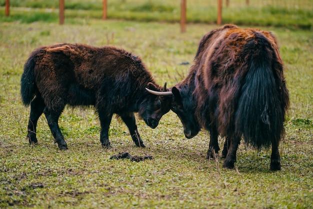 Mongoolse jakmoeder en jong geitje die zich bij weiland bevinden