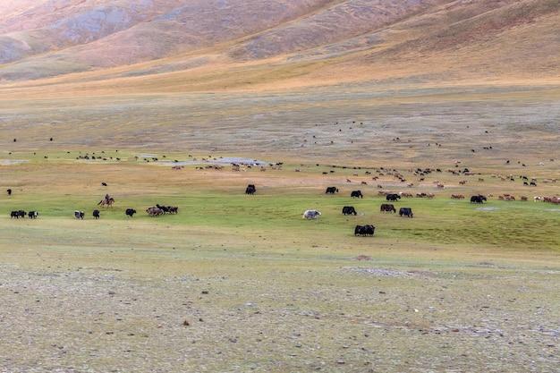 Mongoolse nomadenherder van mongolië die voor zijn vee zorgt. mongoolse altai.
