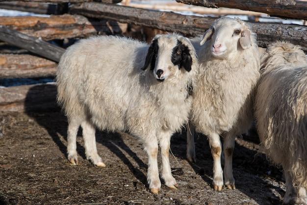 Mongoolse schapen in kleine schuur