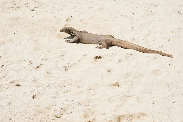 Monitor lizard geniet van zonlicht op strandzand