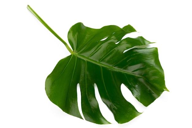 Monstera blad geïsoleerd op een witte achtergrond met uitknippad. palmblad, echt tropisch oerwoud gebladerte zwitserse kaasplant. plat leggen en bovenaanzicht.