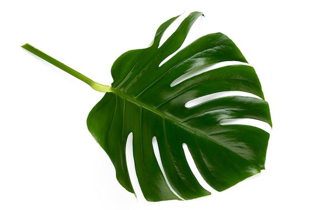 Monstera blad geïsoleerd op wit met uitknippad.