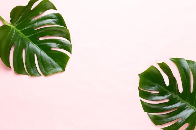 Monstera blad op kleur. palmblad, echt tropisch oerwoud gebladerte zwitserse kaasplant. plat leggen en bovenaanzicht.