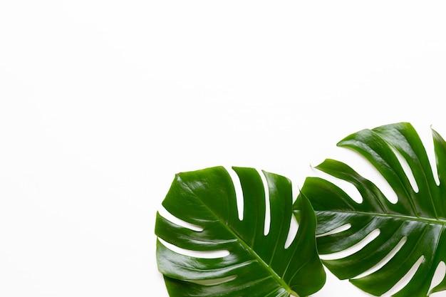 Monstera blad op witte houten achtergrond. palmblad, echt tropisch oerwoud gebladerte zwitserse kaasplant. plat leggen en bovenaanzicht.