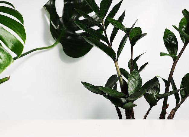 Monstera bladeren en zamioculcas als achtergrond achter een witte plank, een podium voor design.