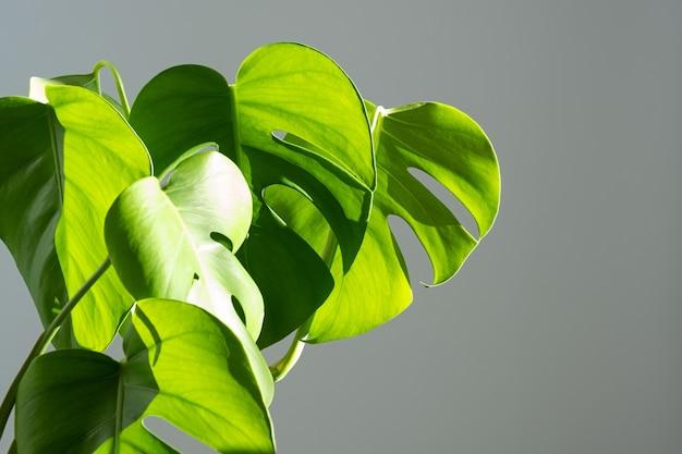 Monstera bloem in een witte pot op een grijze achtergrond