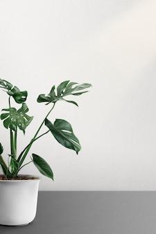 Monstera deliciosa plant in een pot bij een witte muur