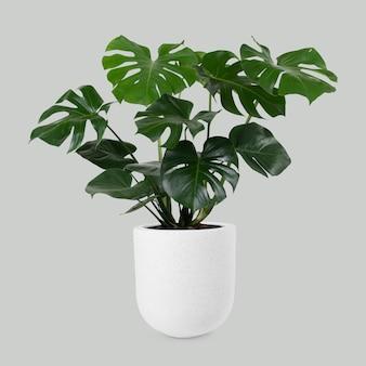 Monstera deliciosa plant in een pot